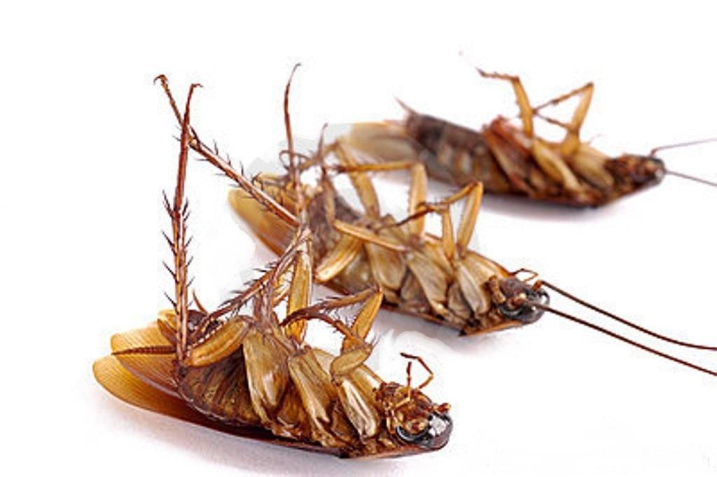 Хитри начини за унищожаване на хлебарки